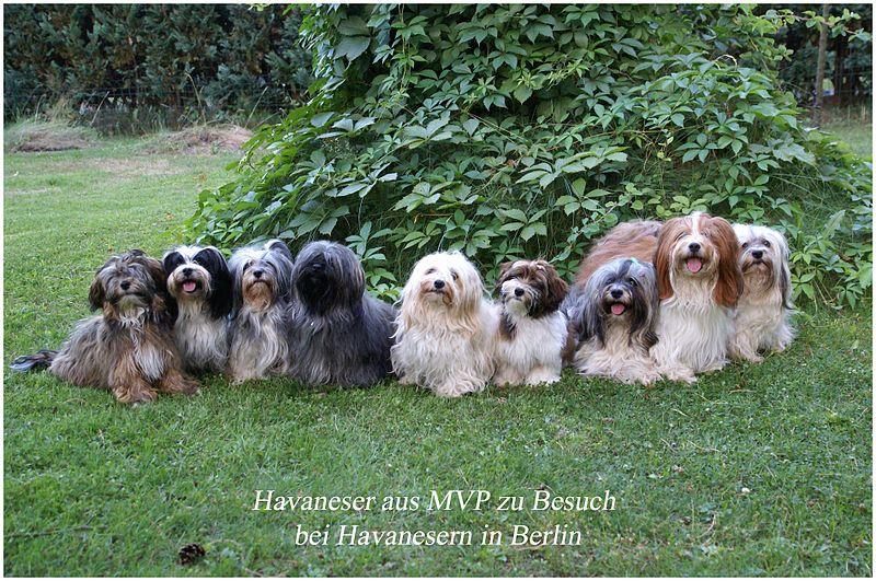 File Bichon Havanais Vdh Zucht Jpg Wikimedia Commons Havanese Dogs Havanese Bichon