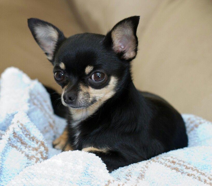 Chihuahua Stud Chihuahua Puppies Cute Chihuahua Chihuahua Dogs