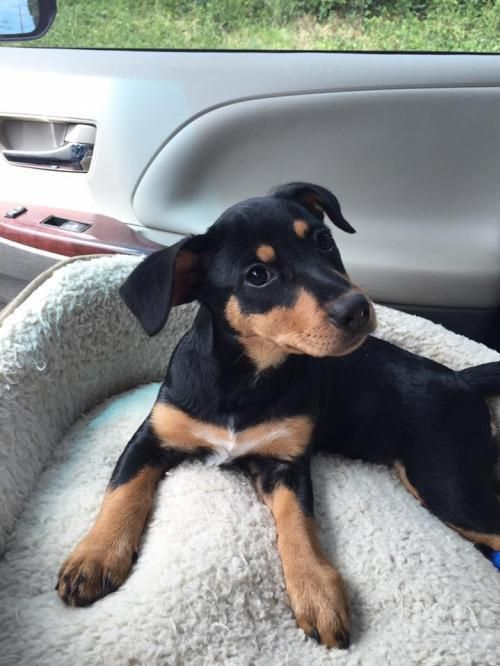 Adopt Senna On Doberman Pinscher Doberman Rottweiler Mix
