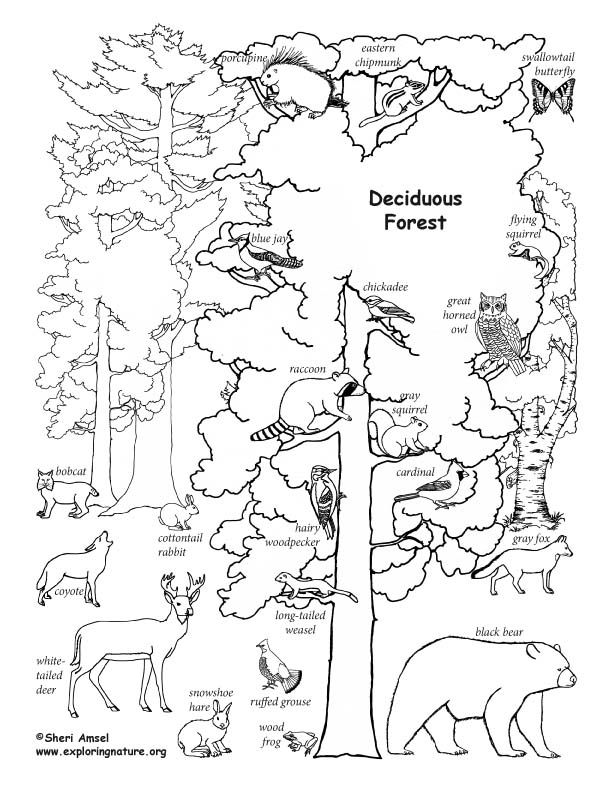 Deciduous Forest With Animals Labeled Coloring Page Animal Coloring Books Animal Coloring Pages Tree Coloring Page