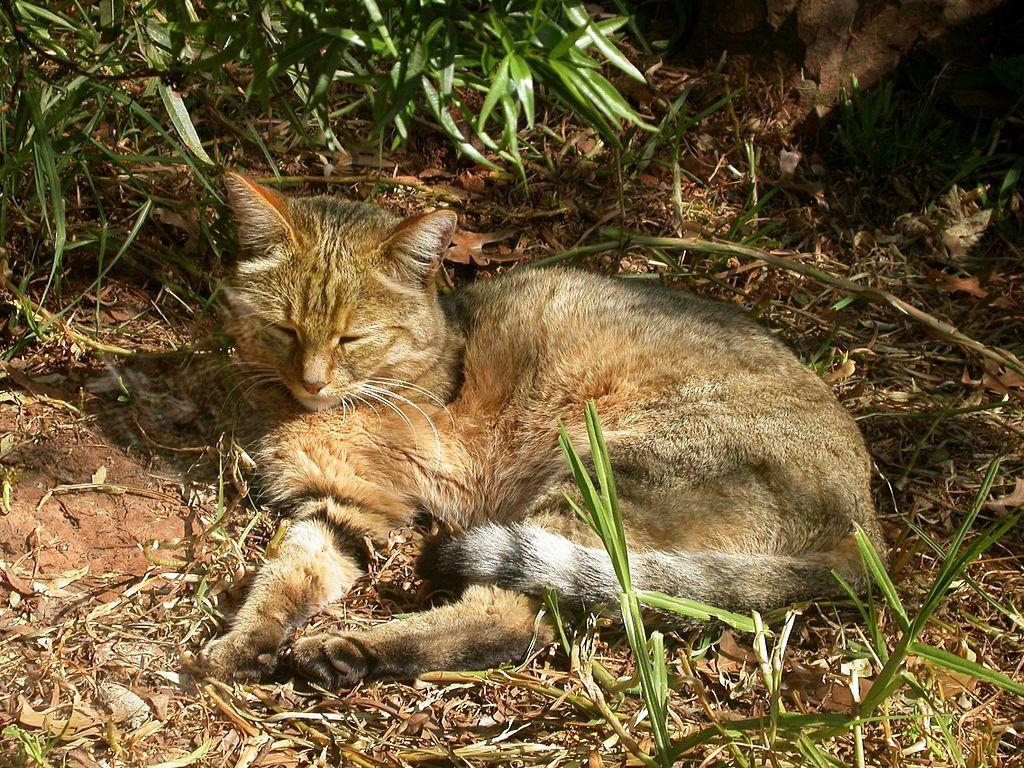 African wildcat (Felis silvestris lybica) The fur colour