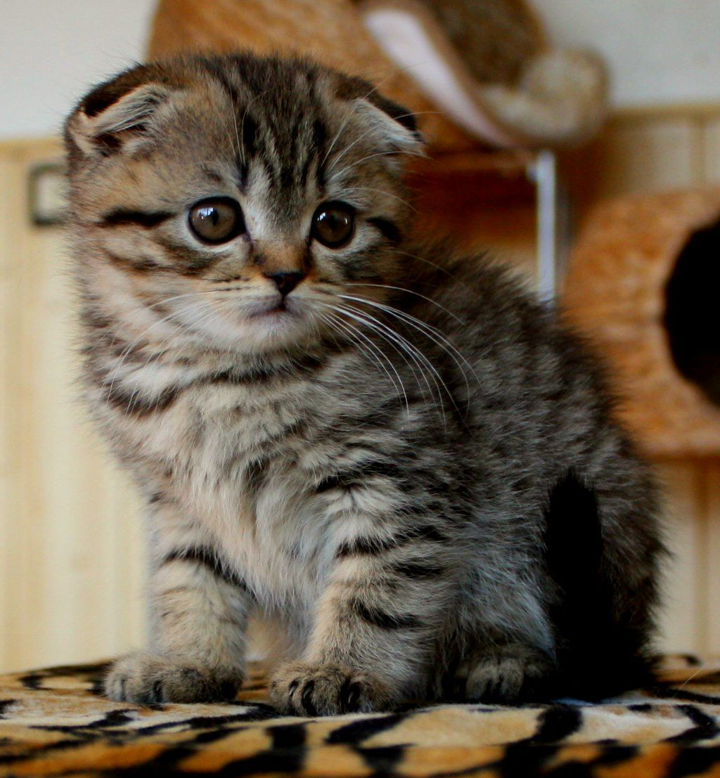 Katzenbabys Britisch Kurzhaar Bkh Kitten Und Britisch Langhaar