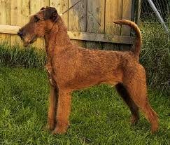 Image result for irish terrier