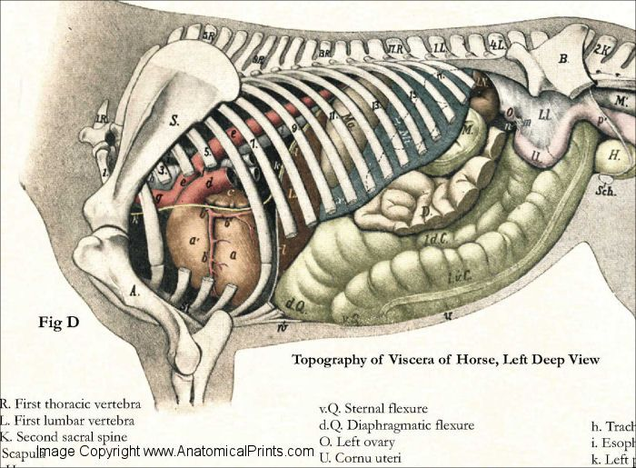 Horse Internal Anatomy Poster - 24\