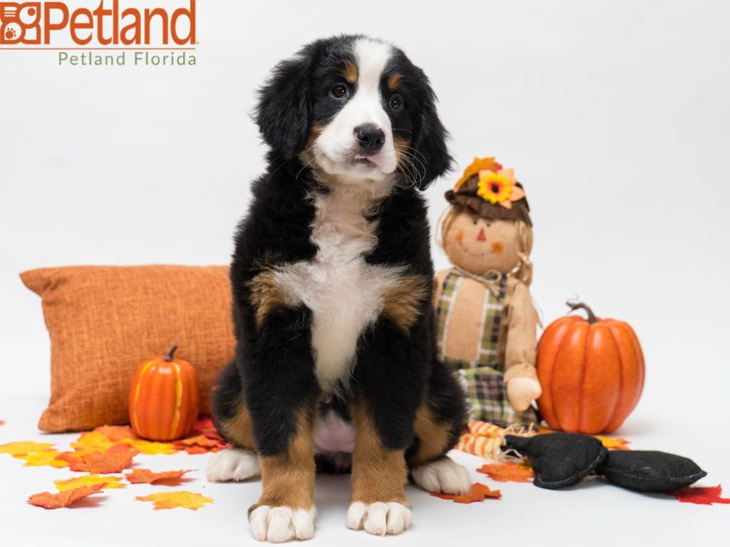 Puppies For Sale Bernese Mountain Dog Mountain Dogs Dogs For Sale
