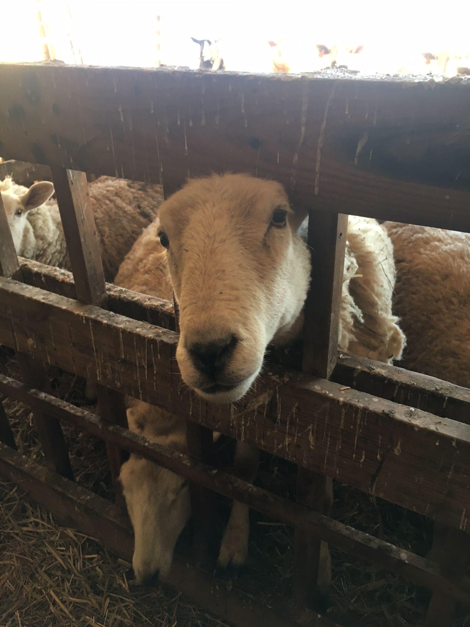 Pet me! Sheep at Mr. Ed's Farm love having visitors. Photo