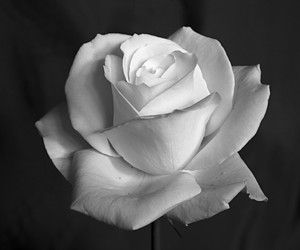 Images Roses Noir Et Blanc Flowers Pinterest Rose Flowers And
