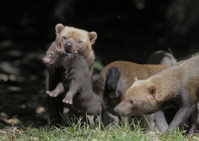Bush dog puppy retrieval | Baby animals, Dogs, puppies ...