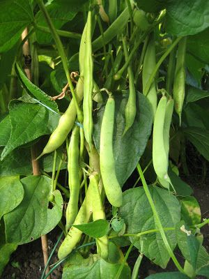 How to Grow Red Kidney Beans from Dried | Garden How