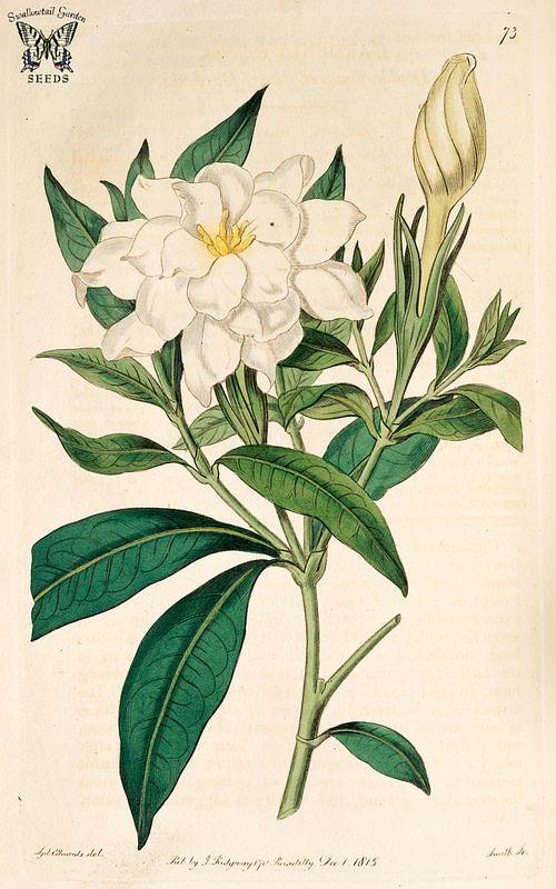 Cape Jasmine Gardenia Gardenia Jasminoides Botanical Illustration Vintage Jasmine Flower Tattoos Flower Drawing