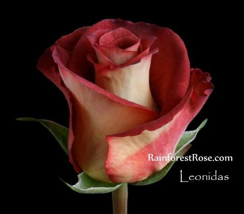 Leonidas Rose My Absolute Favorite All Things Floral