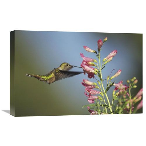 Broad Tailed Hummingbird Juvenile Feeding On Flowers, New Mexico By Tim Fitzharris, 16 X 24-Inch Wall Art