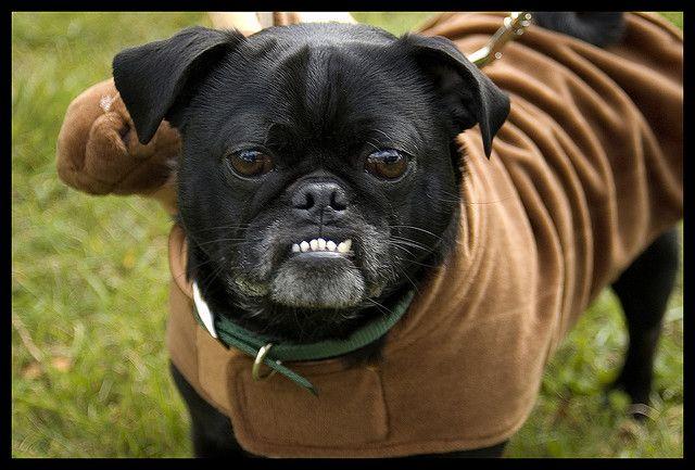 Baron von Underbheit Pug (With images) Happy pug, Pugs