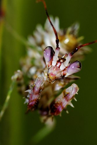 'Exotic' Pink Praying Mantis... Just because its pink doesnt mean it cares about your breast health.