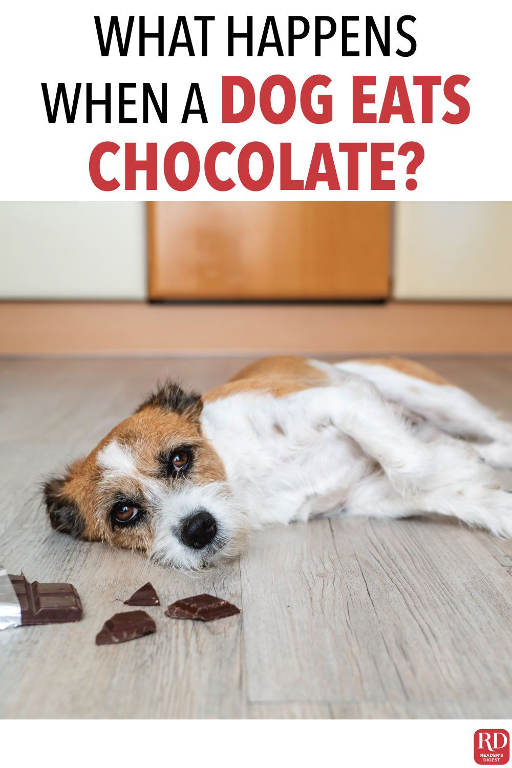 What Happens When A Dog Eats Chocolate In 2020 With Images