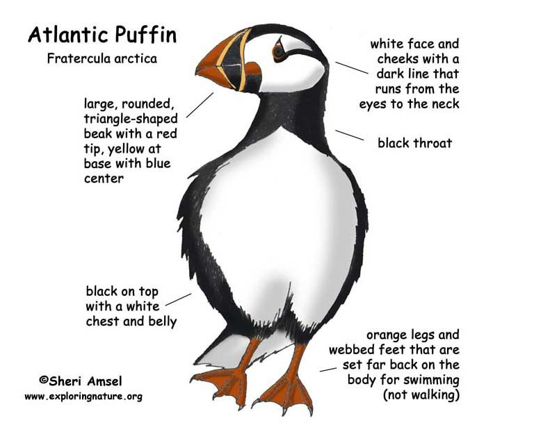 127 best images about PUFFIN THE CUTEST on Pinterest   Featured ...