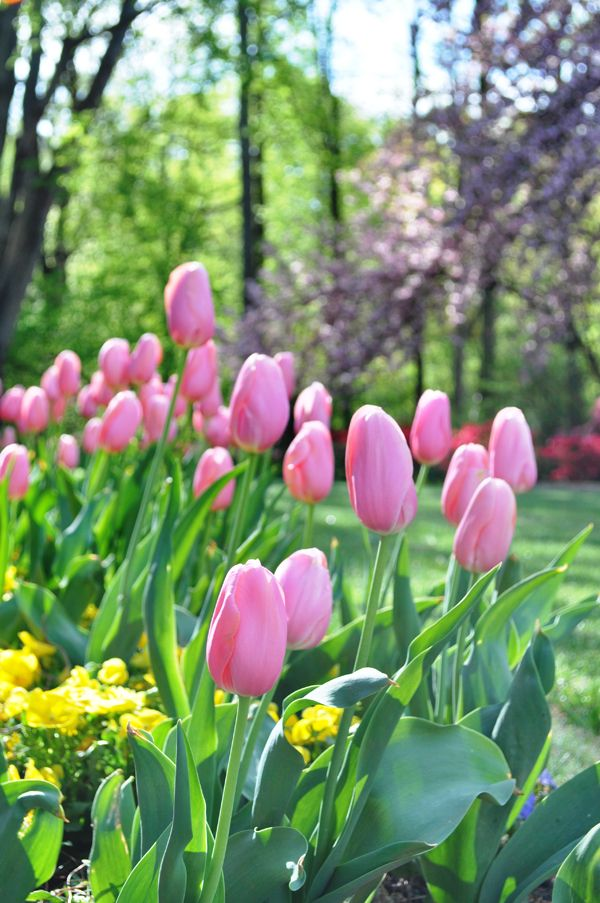 My favorite color of tulips Looks much