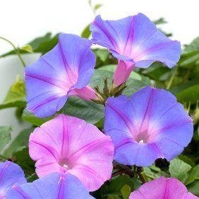 Homemade Air Fresheners Morning Glory Flowers Garden Vines Morning Glory
