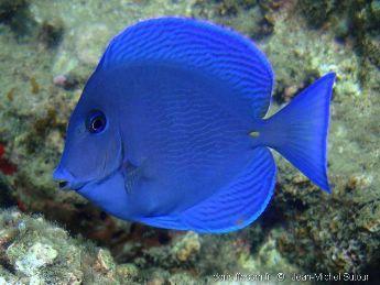 Blue Caribbean Tang Podvodnyj Zhivotnye