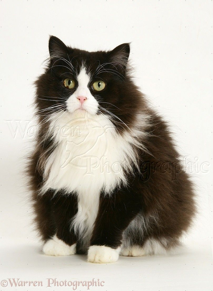 WP Black and white Persian cross cat Flora 6 years old