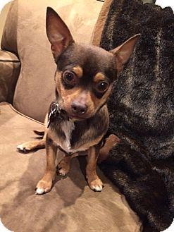Potomac Md Chihuahua Miniature Pinscher Mix Meet Bucky A Dog