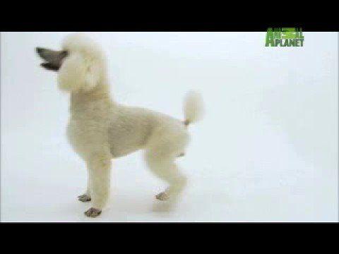 Dogs 101 Poodle Youtube Poodle Puppy Dog Breeds Poodle Dog