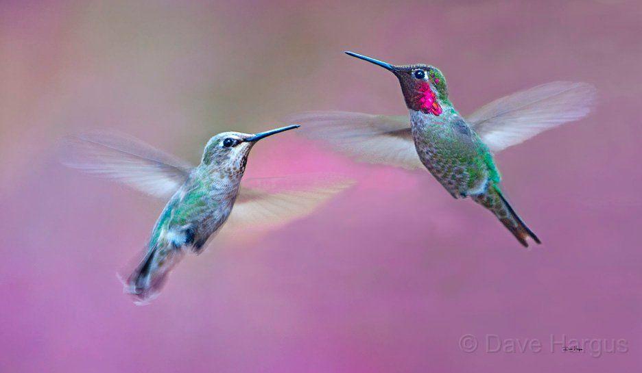 Annas Hummingbird Female On Left And Male On Right Annas Hummingbird Hummingbird Hummingbird Moth