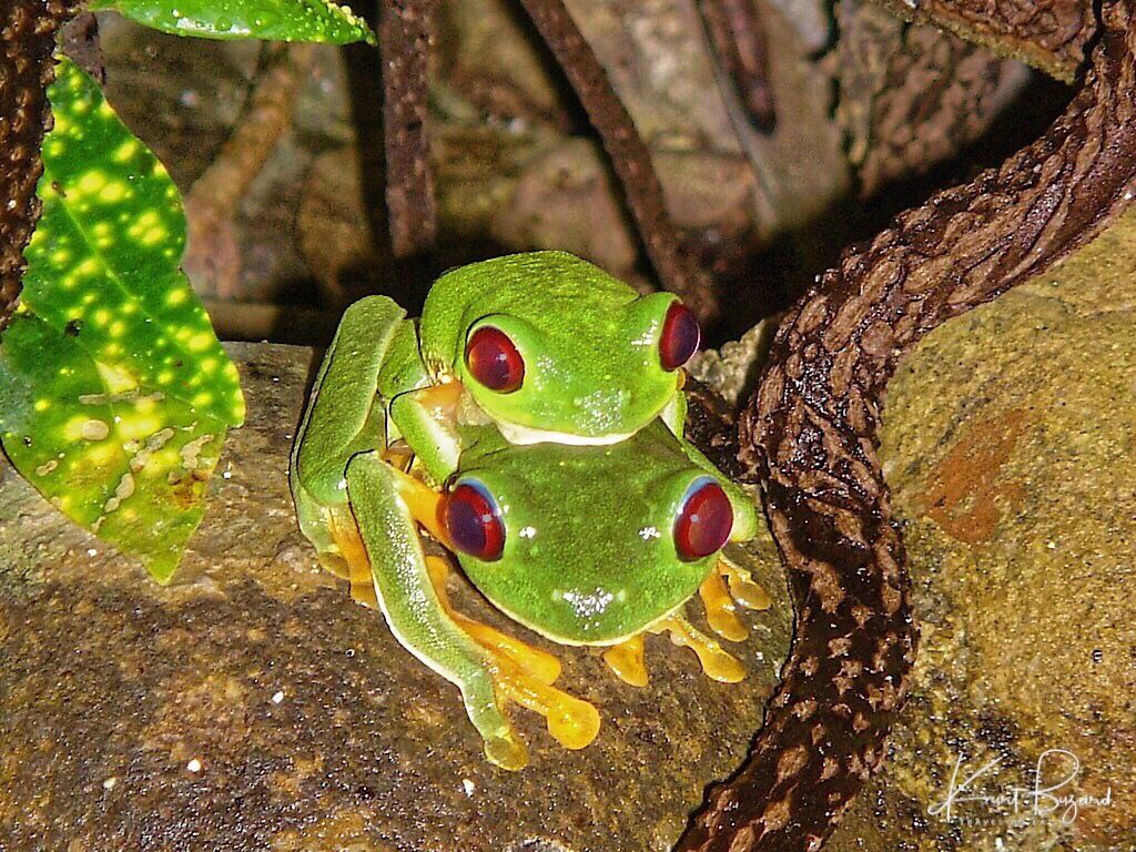 Dazzling Frogs in Costa Rica Tree frogs, Red eyed tree