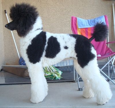 Standard Poodle Rescue Is Called Parti Colored Dylan Was A