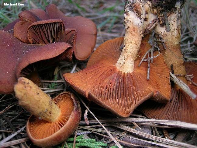 beautiful Mushrooms | Cortinarius malicorius (MushroomExpert.Com)