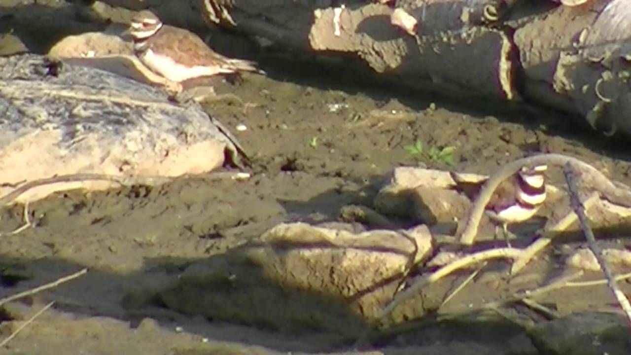 """Killdeer Pair"""