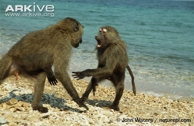 Juvenile olive baboons play fighting