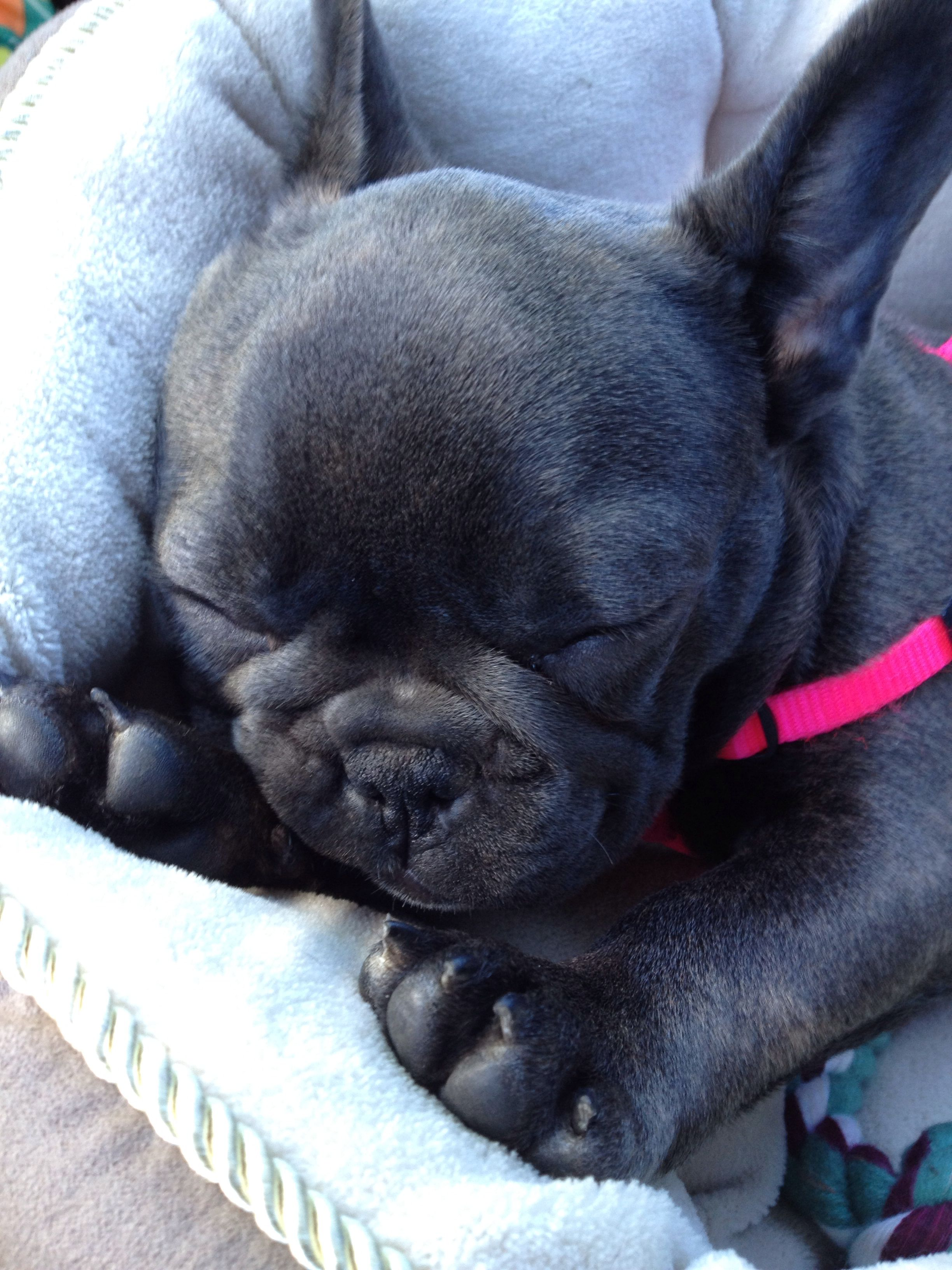 Cute Animal Pictures On Cute Animals French Bulldog Puppies