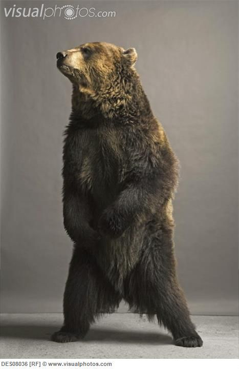 brown bear standing profile - Google Search | Teddy Bears ...