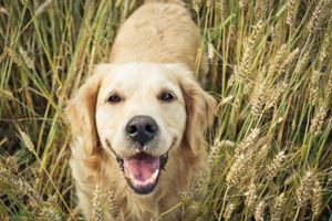 Pedigree's Oral Care: Preventing Gum Disease & Serious Problems #pettips #gumdisease #pets #dogs