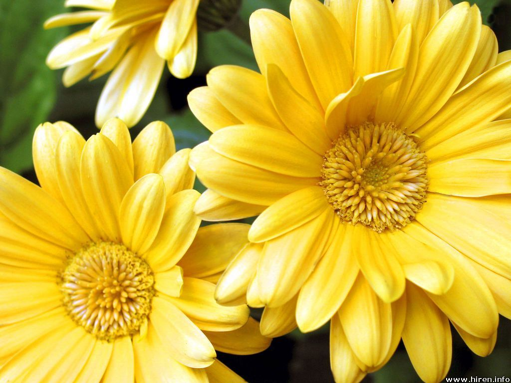 Yellow Gerbera Daisy Possible Flower For Bridesmaid Bouquet Flower Pictures Beautiful Flowers Images Gerbera