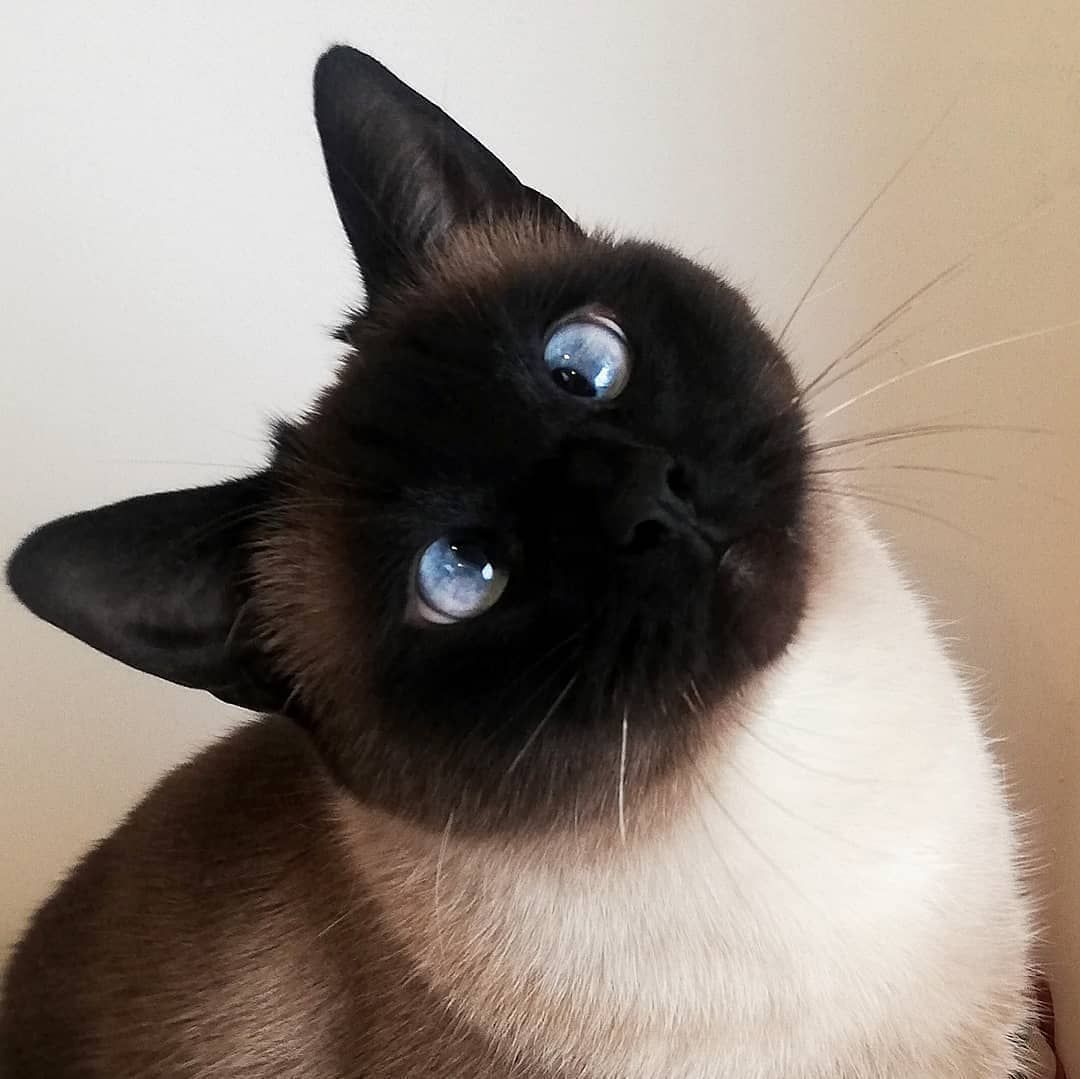 """olliethesiamesecat """"Why you hiding treats from me Meowmy"""