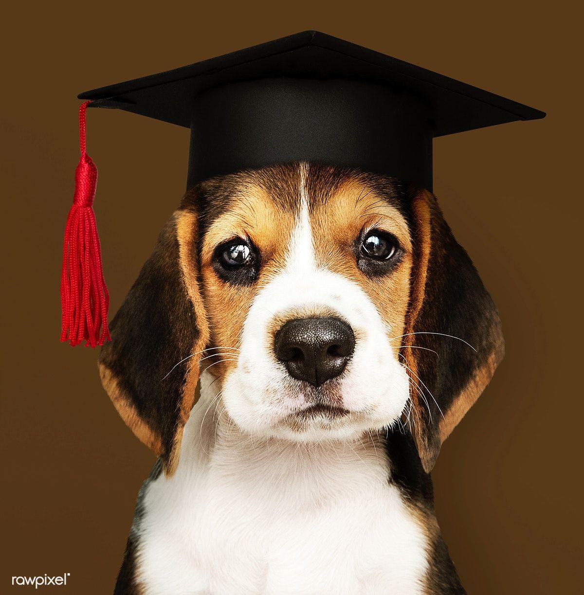 Download Premium Photo Of Cute Beagle Puppy In A Graduation Cap