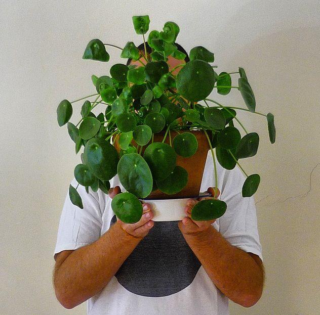 Pilea peperomioides plants pinterest plants for Plante pilea
