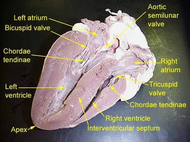 Cow Heart Dissection Worksheet
