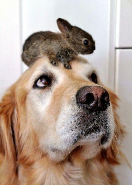 Cute dogs and cute bunnies = cuteness overload. #GoldenRetriever