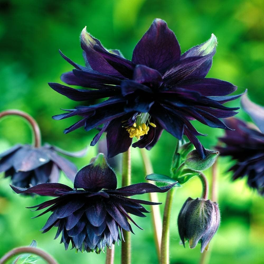 Black barlow columbine is gothic in appearance perennials black barlow columbine is gothic in appearance dhlflorist Gallery