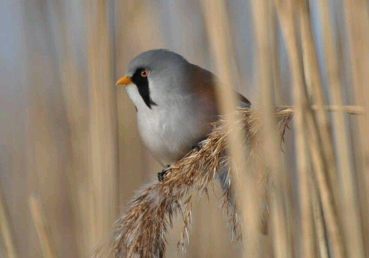 Van josstoop, via vroege vogels