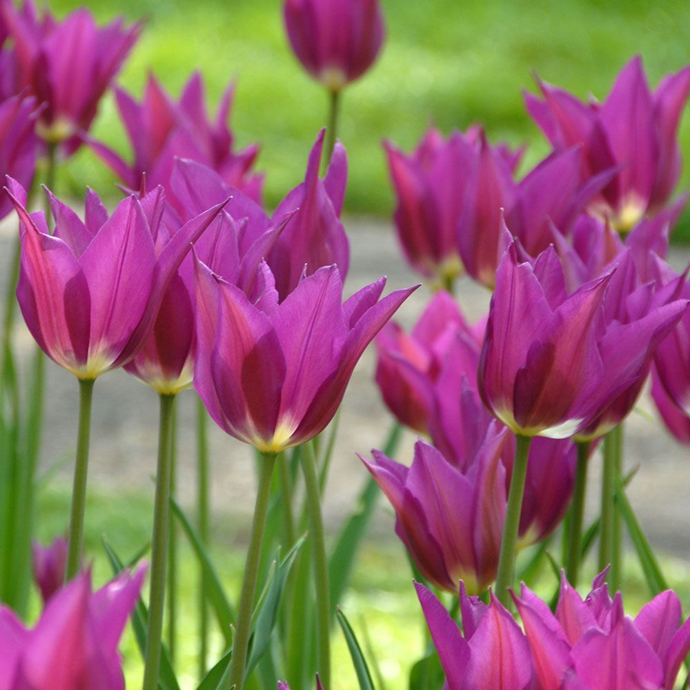 Tulip Purple Dream White Flower Farm Tulips Garden Expensive Flowers