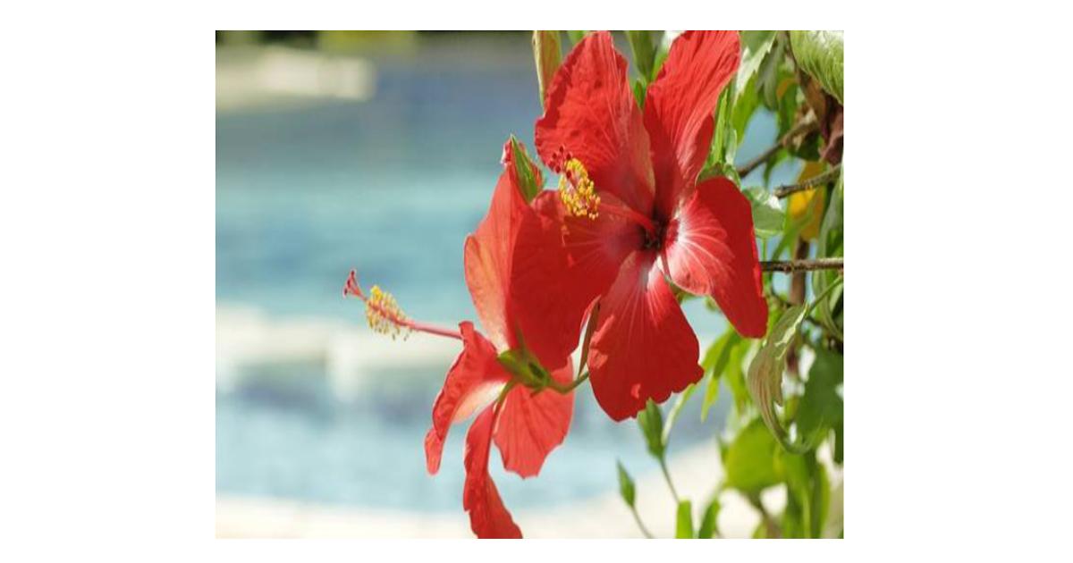 Gambar Bunga Sepatu Dan Bagianya Mengenal Tumbuhan Bunga Sepatu Bagian Bagian Bunga Sebagai Alat Perkembangbiakan Generatif Tumb Di 2020 Bunga Kembang Sepatu Gambar
