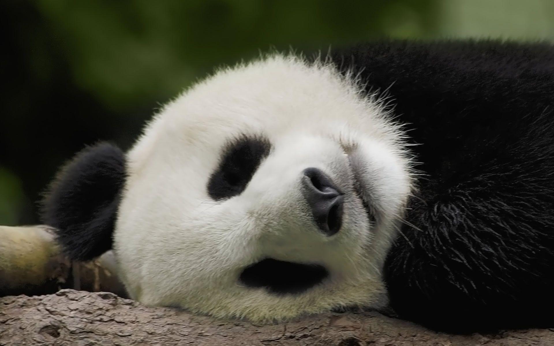 スヤスヤ眠る赤ちゃんパンダ