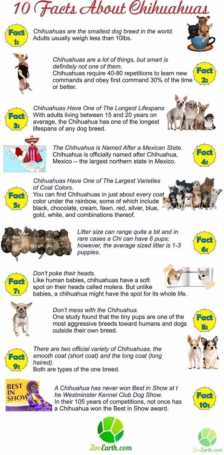 Chihuahua Facts Infographi Chihuahua Facts Infographic