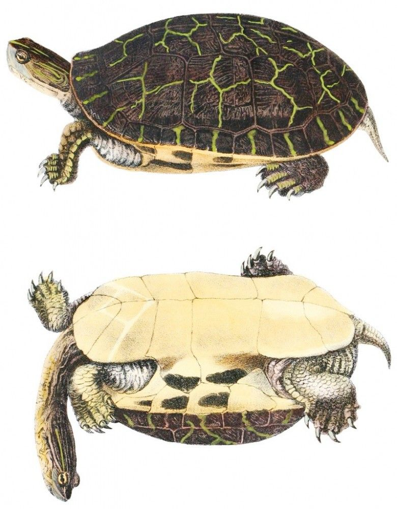 science/illustrated images of turtles anatomy | Turtle, color ...