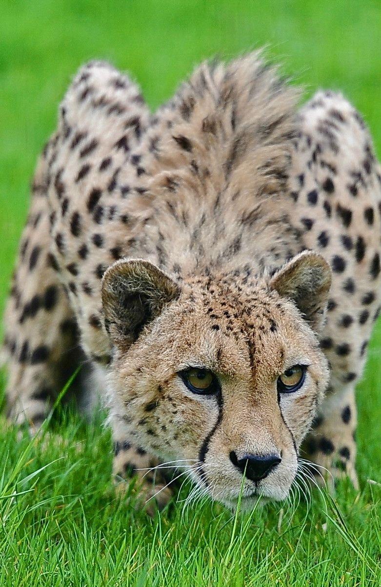 Cheetah Ready To Pounce Big Cats Wild Cats Animals Wild