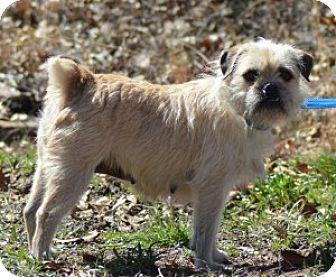 Chalfont Pa Brussels Griffon Mix Meet Gretchen A Dog For